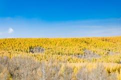 Gouden lariks in de herfst Royalty-vrije Stock Foto's