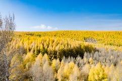 Gouden lariks in de herfst Stock Afbeeldingen