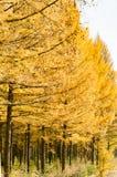 Gouden lariks in de herfst Royalty-vrije Stock Fotografie