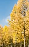 Gouden lariks in de herfst Stock Afbeelding