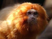 Gouden Leeuw Tamarin royalty-vrije stock fotografie