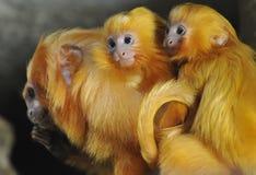 Gouden Leeuw Tamarin Royalty-vrije Stock Foto