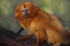 Gouden Leeuw Tamarin Royalty-vrije Stock Afbeeldingen