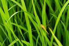Gouden libel op grasgebied Stock Foto's