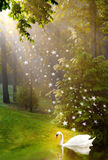 Gouden licht op zwaan in meer Stock Afbeelding