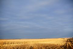Gouden licht over een gedeeltelijk geoogst maïsgebied stock fotografie