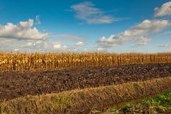 Gouden maïs klaar voor het oogsten stock afbeelding