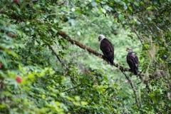 Gouden mannelijk en vrouwelijk Eagle stock afbeelding