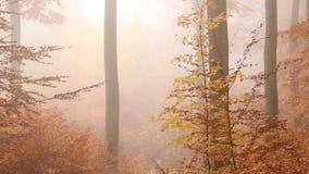 Gouden mistig bos in de herfst stock videobeelden