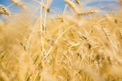 Gouden oogst royalty-vrije stock foto's