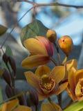 Gouden orchideeën met blauwe hemel Royalty-vrije Stock Afbeelding