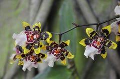 Gouden Orchidee Stock Afbeelding