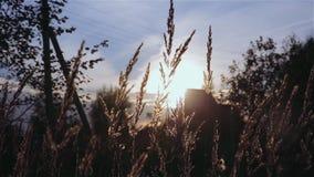 Gouden oren die in de wind op zonsondergang slingeren stock footage