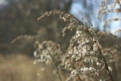 Gouden oren op de zon Stock Fotografie