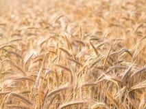 Gouden oren van tarwe in de zomer op het gebied stock afbeelding