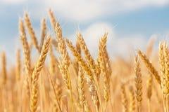 Gouden oren van tarwe onder hemel stock afbeelding