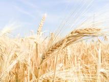 Gouden oren van tarwe op het enorme gebied Stock Foto