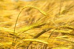 Gouden oren van tarwe op het gebied stock foto's