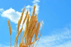 Gouden oren van tarwe tegen blauwe hemel royalty-vrije stock afbeelding
