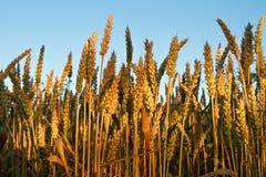 Gouden Orentarwe of rogge Tegen de blauwe hemel Rijke oogst voor het ontwerp Sluit omhoog Royalty-vrije Stock Afbeeldingen