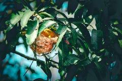 Gouden oriole maakt haar nest stock afbeelding