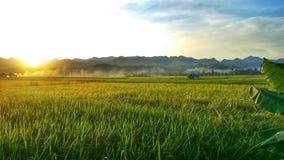 Gouden padieveld stock foto's