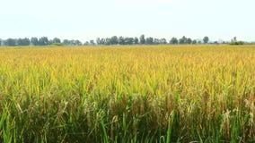 Gouden padieveld stock footage