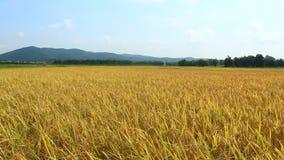 Gouden padieveld stock videobeelden