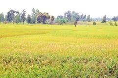 Gouden padieveld die in het midden van de winterwind schitteren stock foto