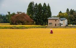 Gouden padieveld op plattelandsgebied Royalty-vrije Stock Foto