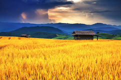Gouden padieveld over zonsondergang Stock Foto's