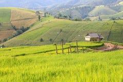 Gouden padievelden in het platteland van Thailand stock afbeeldingen