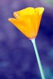 Gouden Papaver Royalty-vrije Stock Fotografie