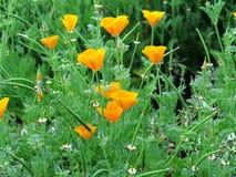 Gouden papavers tussen groene grassen Stock Afbeelding