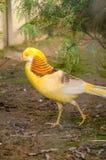 Gouden pictus van fazantchrysolophus Stock Afbeeldingen