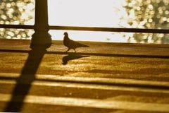 Gouden pingeon Royalty-vrije Stock Foto