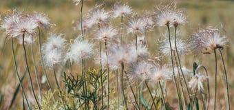 Gouden pluizig gras met zonlicht - onduidelijk beeldachtergrond Royalty-vrije Stock Fotografie