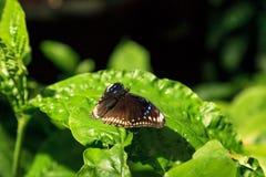 Gouden polydamas van Battus van de rand swallowtail vlinder stock afbeeldingen