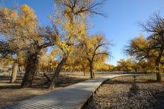 Gouden populierbomen met houten weg Royalty-vrije Stock Foto
