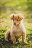 Gouden Puppy Stock Afbeelding