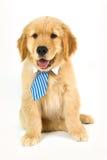 Gouden puppy die band op een witte achtergrond dragen Stock Foto's