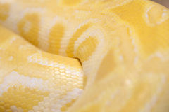 Gouden python Royalty-vrije Stock Fotografie