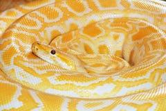 Gouden python Royalty-vrije Stock Afbeeldingen