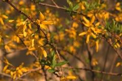 Gouden regen Stock Foto