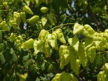 Gouden Regenboom, Koelreuteria-paniculata, het onrijpe close-up van zaadpeulen, selectieve nadruk, ondiepe DOF Royalty-vrije Stock Afbeeldingen