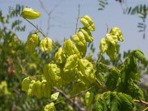Gouden Regenboom, Koelreuteria-paniculata, het onrijpe close-up van zaadpeulen, selectieve nadruk, ondiepe DOF Royalty-vrije Stock Fotografie