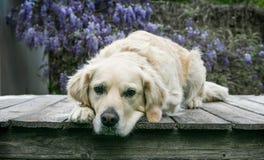 Gouden Retreiver-hond die op dek met het hoofd hangen van dek leggen Stock Afbeeldingen