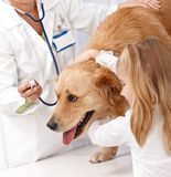 Gouden retriever bij de kliniek van huisdieren royalty-vrije stock fotografie