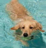 Gouden Retriever die 2 zwemt Stock Afbeeldingen
