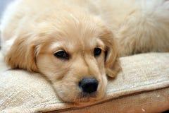 Gouden retriever het liggen puppy Royalty-vrije Stock Fotografie